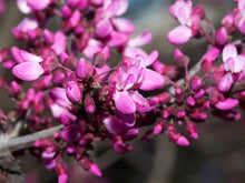 Load image into Gallery viewer, 15 Western Redbud Tree Seeds-One of the first blooming trees in the west after winter. Grows in most soils and conditions. Beautiful!