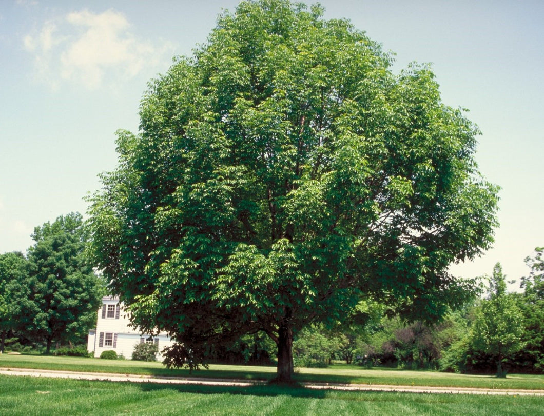 White Ash-A Stately, tall, full tree that can grow in most location in the USA. Simple to grow, beautiful to behold. Makes a statement