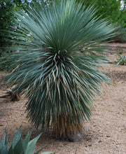 Load image into Gallery viewer, 20 Soaptree Yucca Seed-One of the most profuse flowering yuccas, very tolerant of many growing conditions, works well in northern locations