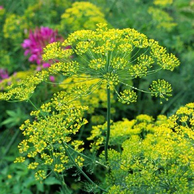 Organic Delikat Dill Seeds - Dense Foliage, High Yields, Amazing Plant