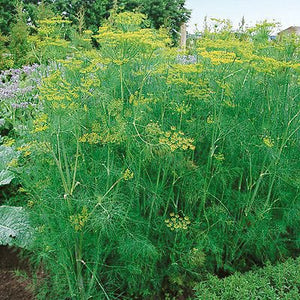 Organic Tetra Dill Seeds -  Slow Bolting Variety With Bushy, Compact Growth