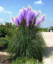 Load image into Gallery viewer, Standard Lavender and Dwarf Pink Pampas Grass - 50 Seeds Each Type