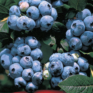 35 Organic Ka-Bluey (Kabluey) Blueberry seeds. Great producer and landscape plant.