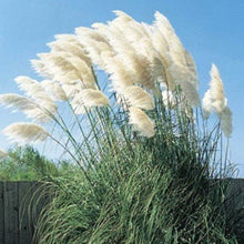 Load image into Gallery viewer, Standard White and Dwarf Lavender Pampas Grass - 50 Seeds Each Type