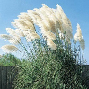 Standard White and Dwarf Lavender Pampas Grass - 50 Seeds Each Type