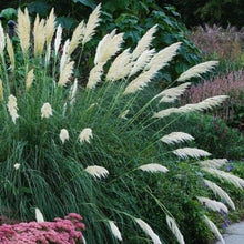 Load image into Gallery viewer, Standard White and Dwarf White Pampas Grass - 50 Seeds Each Type