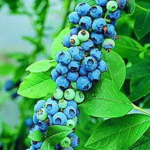 35 Organic Sunshine Blueberry Seeds - The perfect edible ornamental!  lustrous foliage and showy hot pink blooms