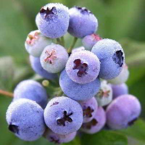 35 Organic Blue Ray Blueberry Seeds -  powerful antioxidant, highbush blueberry! Delicious berry.