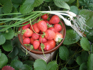 Organic Gasana Strawberry Seeds -  Great Compact Strawberry, Works Great in Smaller Areas!  25 Seeds