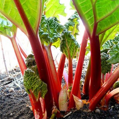 Organic Cherry Red Rhubarb Seeds - One of the Sweetest Varieties