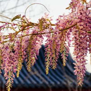 Organic Red Japanese Wisteria Seeds -  Very Showy, Red to Pinkish Pea-Like Flowers