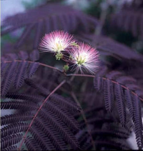 Black Mimosa Seeds -  Medium Sized Ornamental with Short Trunk, Stunning Dark Leaves and Beautiful Pink Blooms. Grown is all USDA Zones