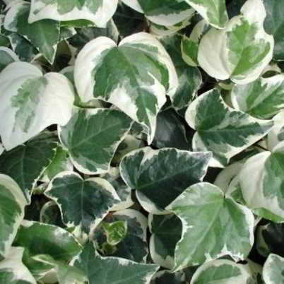 Organic Algerian Ivy Sulphur Heart Seeds - Large-Leaved, Thick Heart Shaped Leaves