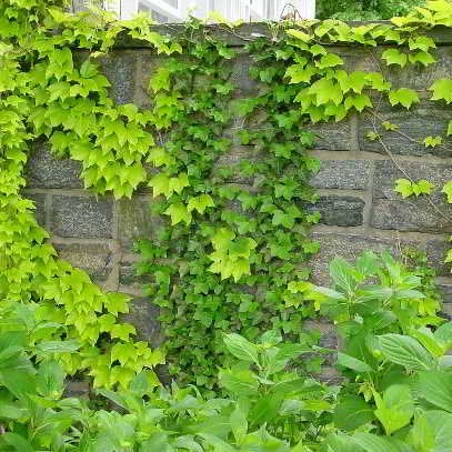 Organic Boston Ivy Fenway Park Seeds - Longer Leaves, More Airy, Open Variation