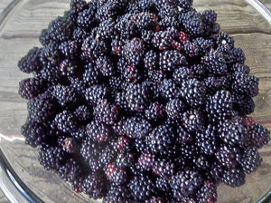 Organic Chester Thornless Blackberry Seeds -  Most Cold Tolerant, Survives in Locales That Others Cannot - 20 Seeds