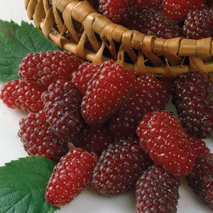 Organic Thornless Loganberry Seeds - Hybrid of Blackberry and Raspberry! Amazing Delicious Fruit - 20 Seeds