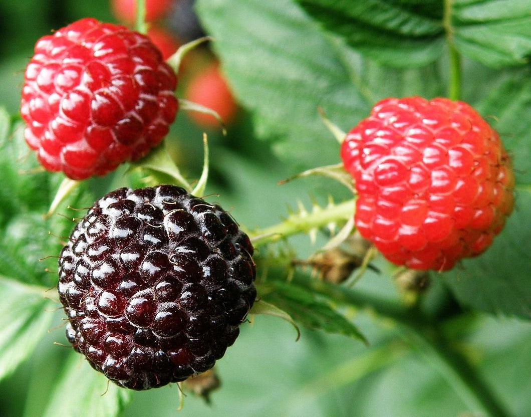 Organic Dundee Black Raspberry Seeds - Visually Stunning, Round Fruit, Delicious