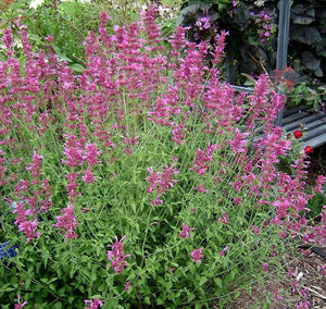 Organic Pink Anise Hyssop-25 Seeds-Mainly grown for its flowers and beauty in containers, works wonderfully when cooking as well!