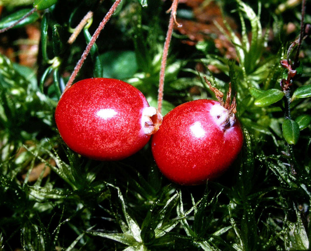 Organic BG Cranberry Seeds - 30 Seeds - Great Container Plant