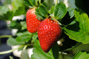 Plymouth Rock Organic Berry Blast – 4 types of mouthwateringly delicious Organic native American berries for your garden.
