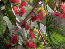 Load image into Gallery viewer, Plymouth Rock Organic Berry Blast – 4 types of mouthwateringly delicious Organic native American berries for your garden.