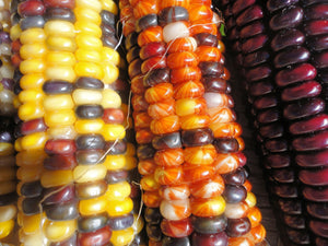 2 Ounces Organic Indian Corn-Native multi-color corn. Simple to grow makes a great ornamental display in the Fall Grows in all US USDA Zones