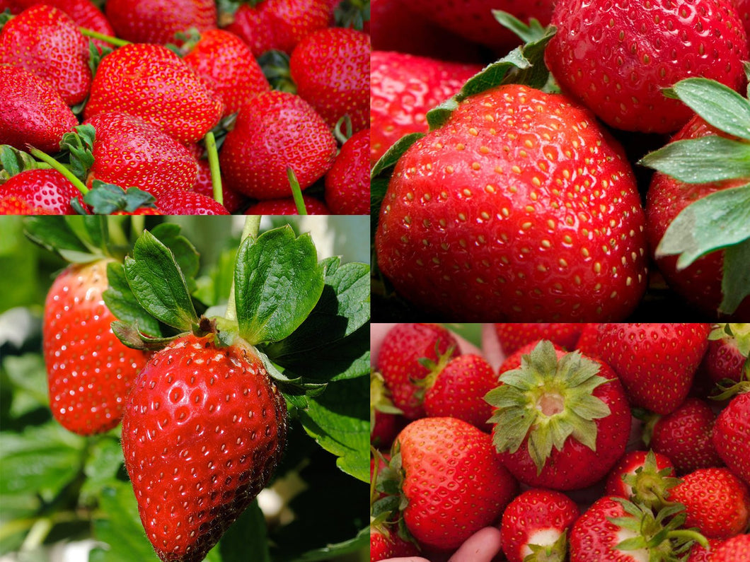 Fields of Red Strawberry Combo – 25 Seeds Each 4 Types
