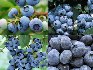Singing the Blues Blueberry Combo– 4 Different Organic Blueberry Types