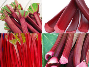 Organic Rhubarb Riot Collection - 4 Amazing Rhubarb Types - 15 Seeds Each