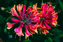 Load image into Gallery viewer, Fiery Honeysuckle Collection-Organic Golden Flame Honeysuckle And Organic Pink Honeysuckle – 15 Seeds Each