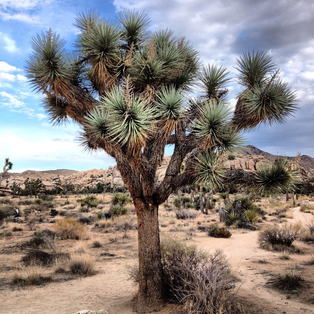 20 Joshua Tree Seeds-A great way to landscape, very tolerant of urban, air pollution, and water stress conditions. Easy to grow, beautiful!