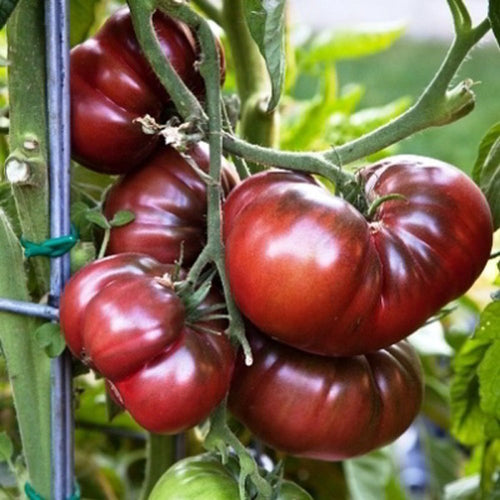 Organic Black Krim Tomato Seeds - 20 Seeds - Amazing Tomato, Beautiful Addition to Your Garden-Dark and Beautiful with an amazing taste!