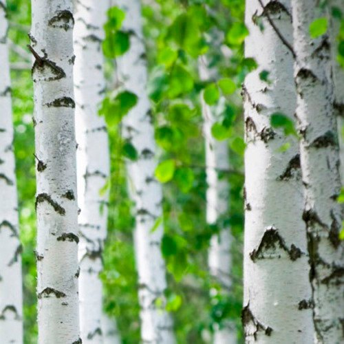 Organic Paper Birch Seeds - 25 Seeds -  Slender and Graceful Deciduous Tree with White Bark