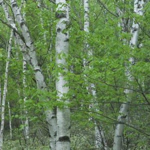 Organic Japanese Birch Seeds -  Medium Tree with Open, Conical Crown of Slender Branches
