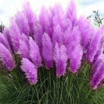 Standard Purple and Dwarf Purple Pampas Grass - 50 Seeds Each Type