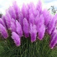 Load image into Gallery viewer, Standard Purple and Dwarf Pink Pampas Grass - 50 Seeds Each Type
