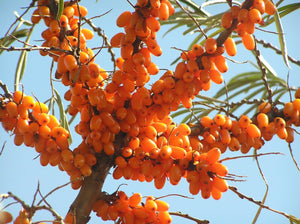 Common Seabuckthorn Seeds - 12 Seeds - Fast Growing, Bright orange clusters of fruits, USDA Zones 2a-9b