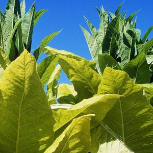 Organic Giant Variegated Tobacco Seeds - 20 Count - One of our largest tobacco plants. Many uses throughout the garden