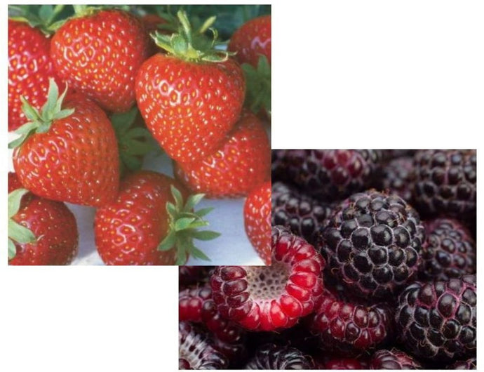 25 Organic Honeoye Strawberry Seeds And 25 Crimson Knight Raspberry Seeds