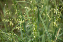 Load image into Gallery viewer, Organic Wild Rice-An amazing, diverse plant that can be used as a food staple as well as an ornamental in water features. Very easy to grow