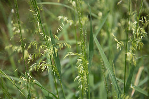 Organic Wild Rice-An amazing, diverse plant that can be used as a food staple as well as an ornamental in water features. Very easy to grow