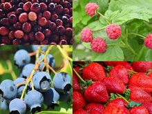 Load image into Gallery viewer, Crimson Festival Organic Berry Combo – 4 types of juicy, delicious and very productive organic berry plants for your garden. All USDA Zones