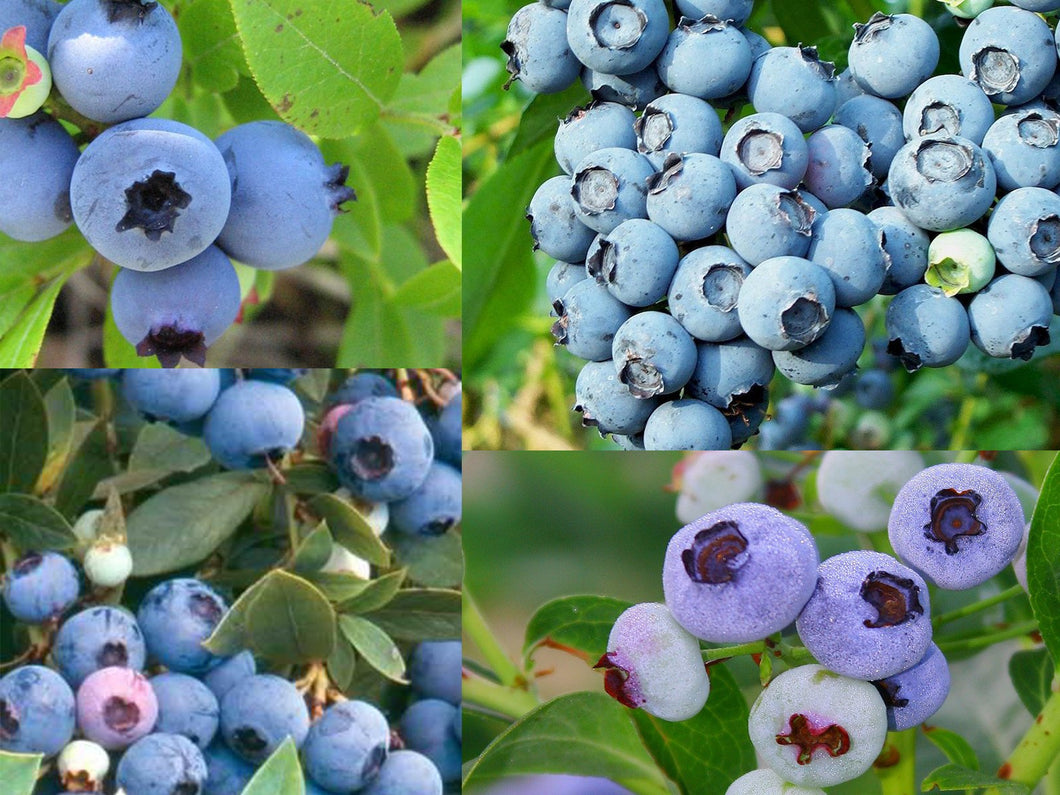 Blue Fields Blueberry Combo– 4 Organic Berry Types - 35 Seeds Each
