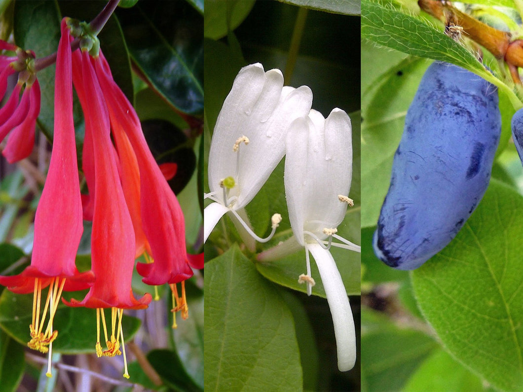 American Organic Honeysuckle Collection-Red, White, And Blue Organic Honeysuckles–3 Honeysuckle Types – 15 Seeds Each