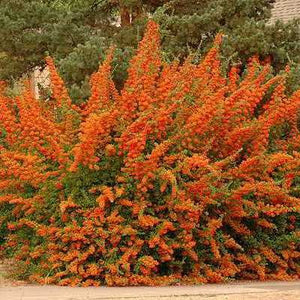 Fiery Pyracantha Seeds - 20 Seeds - Grows 10-12 Feet, one of the best home defense plants available. Big thorns & beautiful flowers