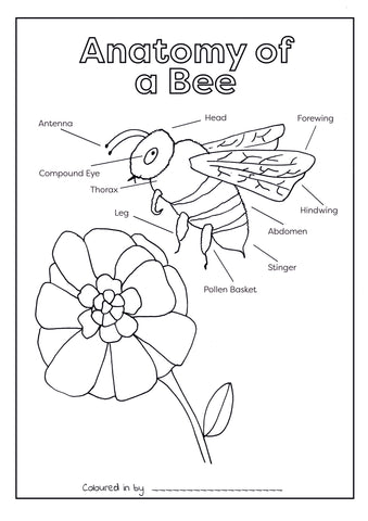 Anatomy of a Bee Colouring Printable (Download & Print & Post)