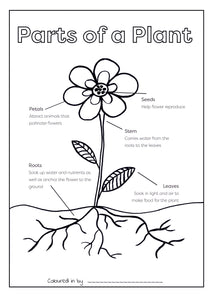 Parts of a Plant Colouring Printable (FREE Download)