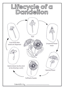 Lifecycle of a Dandelion Colouring Printable (Download & Print & Post)