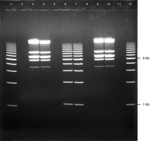 GE-3723 | 3% Agarose TAE w/ EtBr Long Gel, 12+1 well