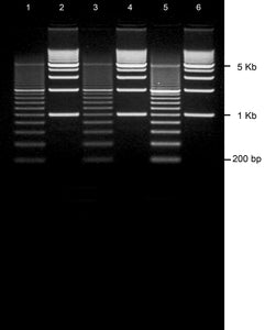 GE-4783 | 3% Agarose TBE w/EtBr Portrait Gel, 6 well